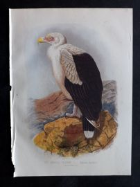 Jones & Cassell 1869 Antique Bird Print. Angola Vulture